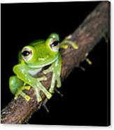 Glass Frog 02 Canvas Print
