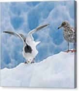Glaucous-winged Gull Larus Glaucescens Canvas Print