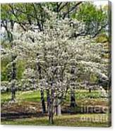 Glenna's Dogwood In The Spring Canvas Print
