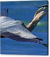 Gliding Great Blue Heron Canvas Print