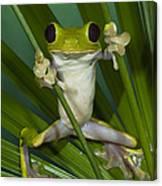 Gliding Leaf Frog Agalychnis Spurrelli Canvas Print