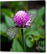 Globe Amaranth Bicolor Rose Canvas Print