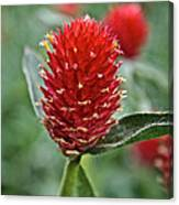 Globe Amaranth Canvas Print