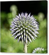 Globe Thistle Canvas Print