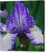 Glorious Iris Canvas Print