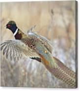 Glorious Pheasant Cock Canvas Print