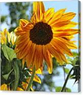 Glory Glory Sunflower Canvas Print