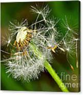 Glowing Dandelion Spores Canvas Print