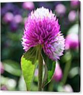 Glowing Globe Amaranth Canvas Print