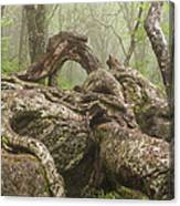 Gnarly Old Tree In Fog Along The Blue Ridge Parkway Canvas Print
