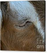 Goat Dreams Canvas Print