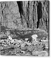 Goat Herd On Mount Evans Canvas Print