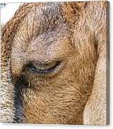 Goat Lashes Canvas Print