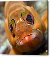 Goby Canvas Print