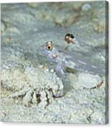 Goby With A Hermit Crab, Australia Canvas Print
