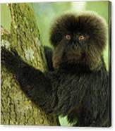 Goeldis Monkey Callimico Goeldii Canvas Print