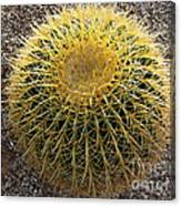 Gold Barrel Cactus   No 1 Canvas Print