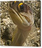 Gold-speck Jawfish Pouting, North Canvas Print
