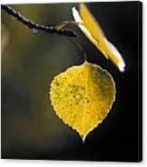 Golden Aspen Leaf Canvas Print