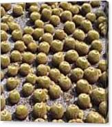 Golden Barrel Cactus 1 Canvas Print