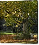 Golden Cappadocian Maple. Canvas Print