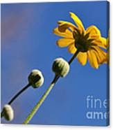 Golden Daisy On Blue Canvas Print