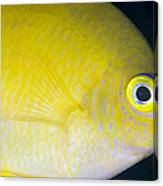 Golden Damsel Close-up, Papua New Canvas Print