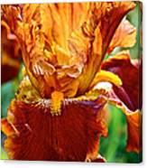 Golden Iris Canvas Print