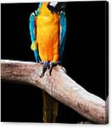 Golden Macaw Canvas Print