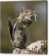 Golden-mantled Ground Squirrel Canvas Print