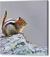 Golden-mantled Ground-squirrel Canvas Print