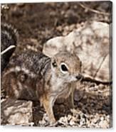 Golden Mantled Squirrel Canvas Print