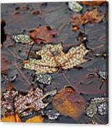Golden Maple Dew Drops Canvas Print