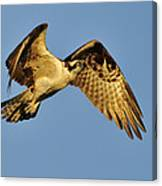 Golden Osprey In Dawn's Early Light Canvas Print