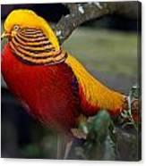 Golden Pheasant Posing Canvas Print