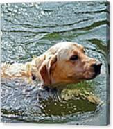 Golden Retriever Swimming Close Canvas Print