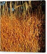 Golden Silver Grass Canvas Print
