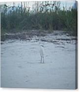 Golden Slipper Egret Sea Oats Canvas Print