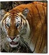 Golden Tabby Bengal Tiger Canvas Print