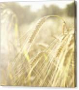 Golden Wheat Field In Sunlight, Close-up Canvas Print