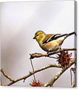 Goldfinch In Sweetgum Canvas Print