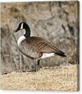 Goose Standing Still Canvas Print
