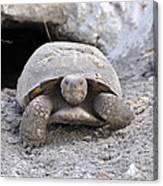 Gopher Tortoise Canvas Print
