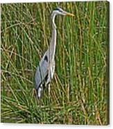 Gorgeous Great Blue Heron Canvas Print