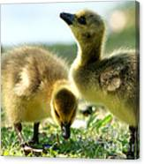 Goslings 6 Canvas Print