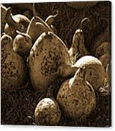 Gourds In Sepia Canvas Print
