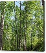 Graceful Aspen Poplars Canvas Print