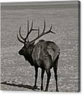 Grand Dad Elk Canvas Print