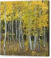 Grand Teton Aspens Canvas Print