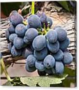 Grape Cluster Vine Canvas Print